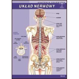 Układ nerwowy Plansza dydaktyczna