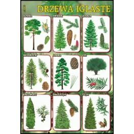 Drzewa iglaste Plansza dydaktyczna