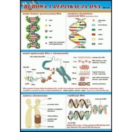 Budowa i replikacja DNA Plansza dydaktyczna