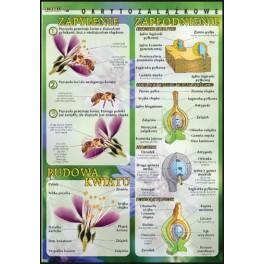 Budowa kwiatu, zapylenie, zapłodnienie (okrytozalążkowe) Plansza dydaktyczna