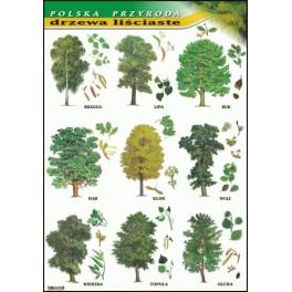 Drzewa liściaste Plansza dydaktyczna